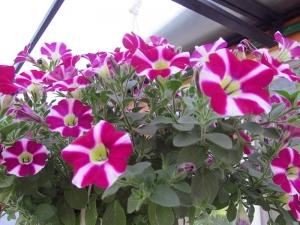 Олександрія в квітах